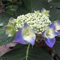 写真: ご近所の紫陽花_02