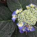 写真: ご近所の紫陽花_03