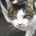 写真: ご近所の猫_02