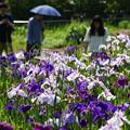 写真: 丹波市島 三ツ塚史跡花しょうぶ_04