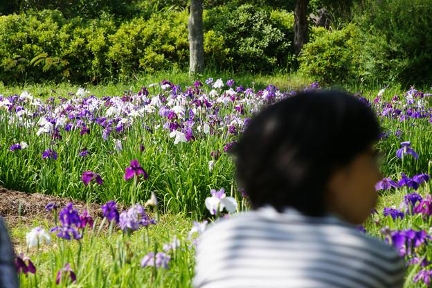 花しょうぶを眺める