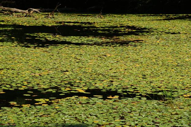 鯉が窪湿原 湖畔と水草_02