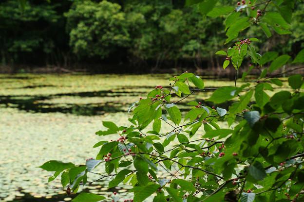 Photos: 鯉が窪湿原 湖畔と木漏れ日_01