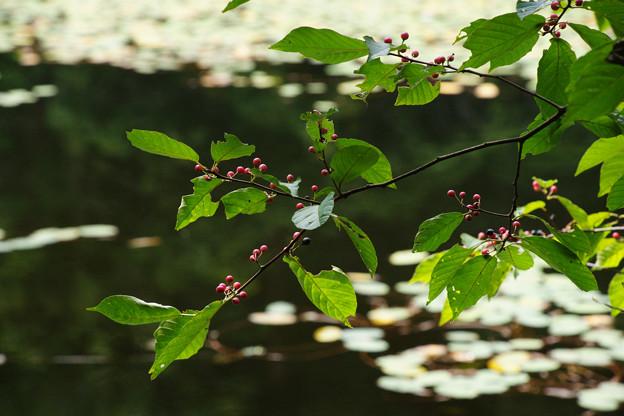 鯉が窪湿原 湖畔と木漏れ日_02