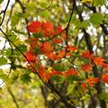 紅葉の林を歩く_04
