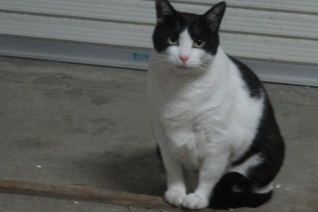 ご近所の白黒の猫_01
