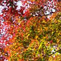 アジサイ坂の紅葉