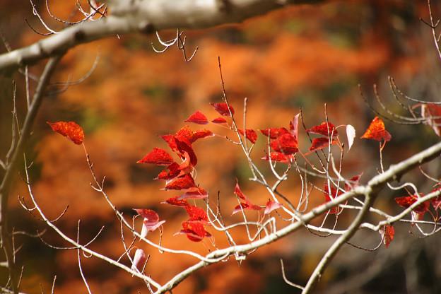 紅葉する葉