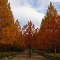 メタセコイア並木の紅葉_01