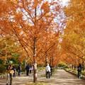 Photos: メタセコイア並木の紅葉_02