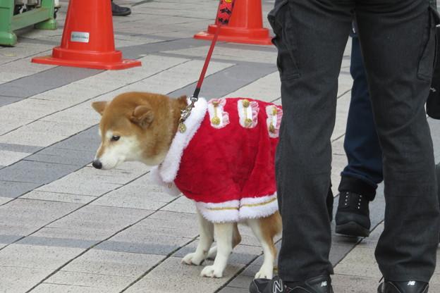 犬もクリスマス