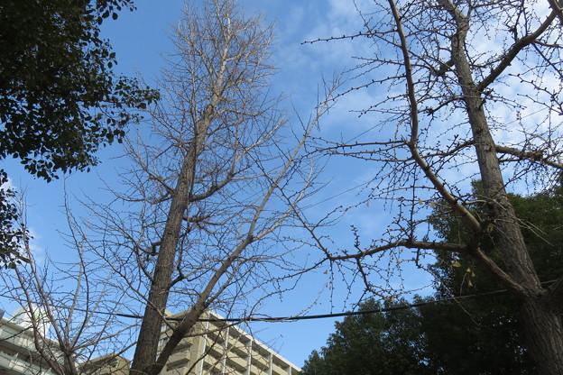 葉の落ちた銀杏の木_02