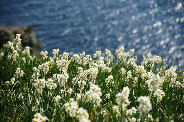 灘黒岩水仙郷 灘の海と水仙_03