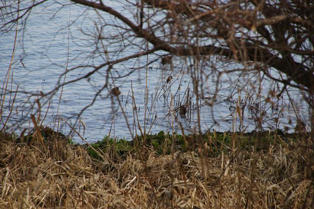 水鳥の観察_04