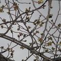 Photos: 桜のつぼみ_01