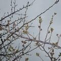 Photos: 桜のつぼみ_02