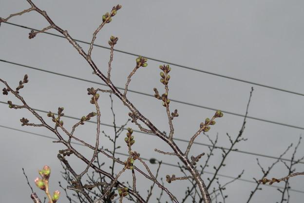 Photos: 桜のつぼみ_03