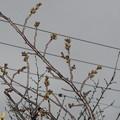桜のつぼみ_03
