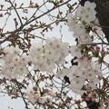 Photos: 兵庫中学の桜開花_01