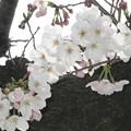 Photos: 兵庫中学の桜開花_02