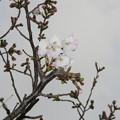 Photos: 兵庫中学の桜開花_03