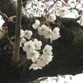 Photos: 兵庫中学の桜開花_04