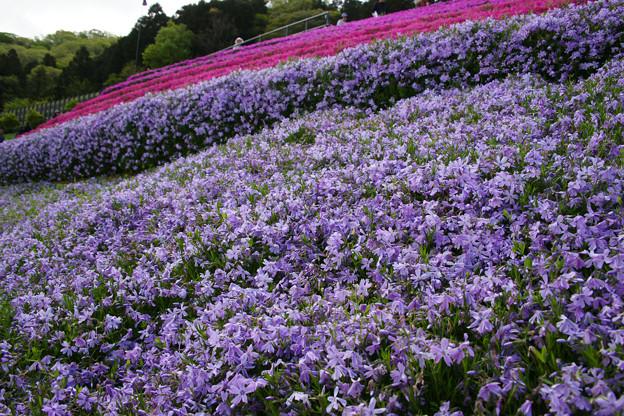 ヤマサ蒲鉾 一面の芝桜_01