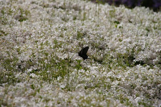 白い芝桜_02