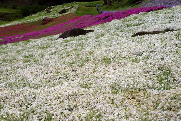 白い芝桜_03
