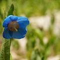 ヒマラヤの青いケシ_02