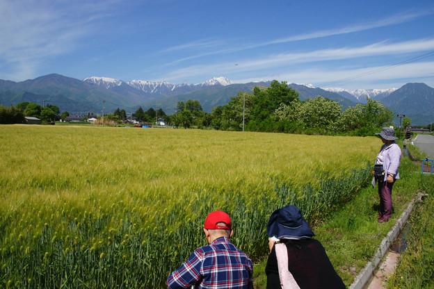大麦と北アルプス_02