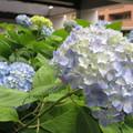 HAT脇浜の紫陽花_04