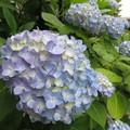 HAT脇浜の紫陽花_05