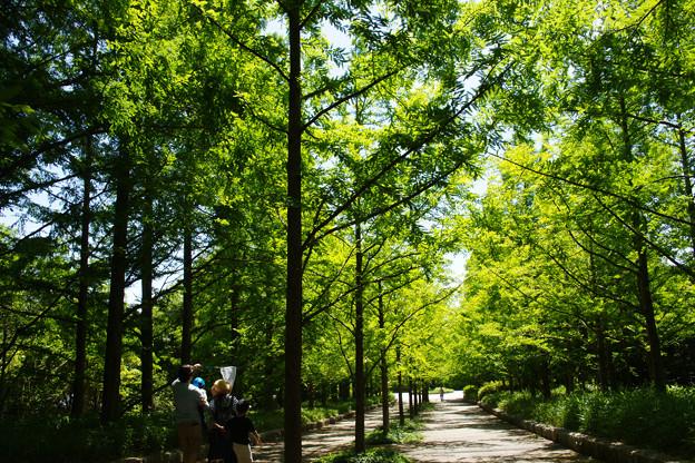 初夏のメタセコイア並木