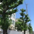 Photos: 初夏のいちょう並木_01