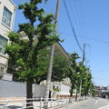 Photos: 初夏のいちょう並木_02