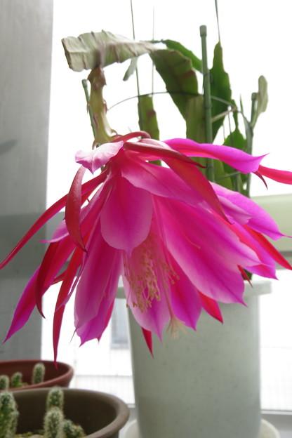 サボテンの花_02