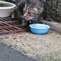 Photos: ご近所猫 しま猫_02