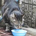 Photos: ご近所猫 しま猫_03