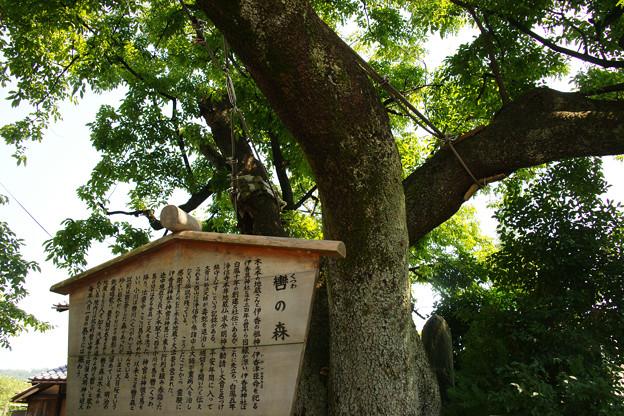 Photos: 木之本 イヌサクラ_01