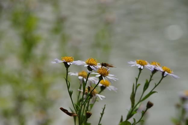 池の小菊_01