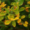 Photos: メドハギの紅葉