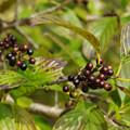Photos: シーボルトの木の実
