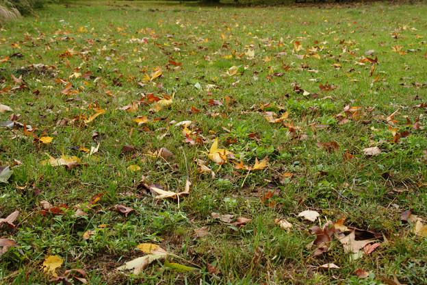 芝生の落ち葉