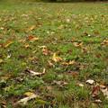 Photos: 芝生の落ち葉