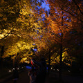 Photos: メタセコイヤ並木の紅葉_02