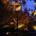 Photos: メタセコイヤ並木の紅葉_03