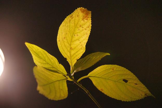 黄葉のライトアップ
