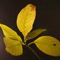 Photos: 黄葉のライトアップ