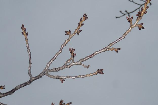 桜の花の芽_02